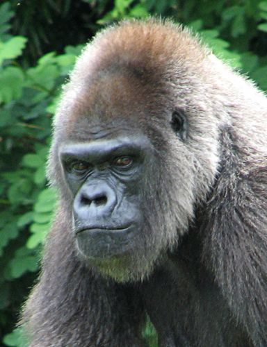 Photo of a mean looking gorilla.